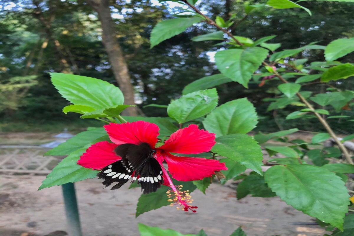 Hibiscus - Lumbini Buddha Garden
